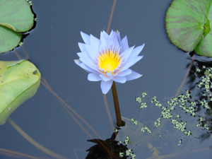 Lotus Flower Daily Compass