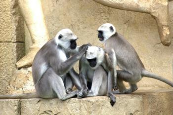 monkeys-pixabay
